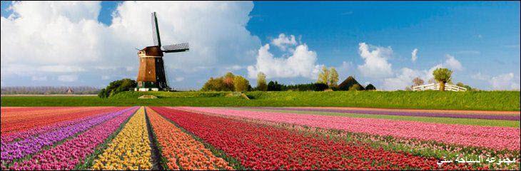 زهور هولندا