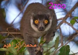 عائلات الليمور 205888494