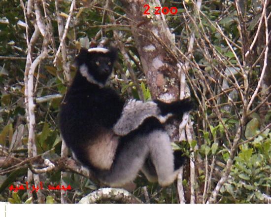 عائلات الليمور 740623940