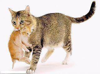 لماذا تحمـــــل القطة أبناءها بفمها من رقبتهم ؟؟ 223691431