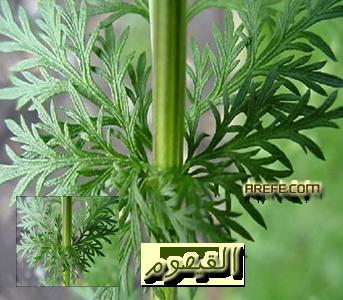 c1a5f1fd4 الاعشاب [الأرشيف] - المنتدى الرسمي لفضيلة الشيخ الدكتور محمد بن عبدالرحمن  العريفي
